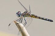 Dragonflies Art - Female Blue Dasher Dragonfly Posing Prettily by Bonnie Barry