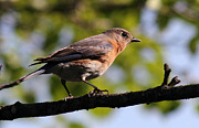 Douglas Stucky - Female Bluebird