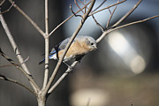 Bluebird Metal Prints - Female Bluebird Metal Print by Teresa Mucha