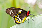 Cairns Prints - Female Cairns-Birdwing Butterfly Print by Chris Thaxter