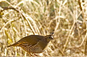 Lightscapes Posters - Female California Quail Poster by Sean Griffin