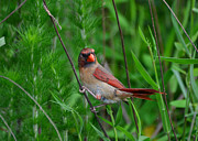 Female Cardinal - C5527a Print by Paul Lyndon Phillips