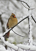 Female Cardinal 3656 Print by Michael Peychich