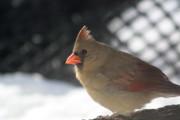 Diane Merkle - Female Cardinal