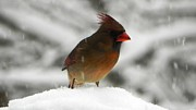 Cardinals. Wildlife. Nature. Photography Photos - Female Cardinal in Snow by Jennifer Wosmansky