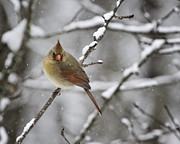 Bird Photographs Metal Prints - Female Cardinal in Snow Metal Print by Rob Travis