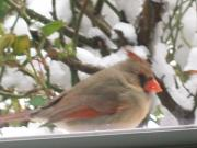 Deborah Anderson - Female Cardinal in the...