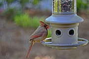 Back Yard Birds Posters - Female Cardinal Poster by Larry Bishop