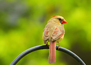 Female Northern Cardinal Framed Prints - Female Cardinal on Pole Framed Print by Bill Tiepelman