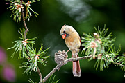 Bird Photographs Photos - Female Cardinal by Rob Travis