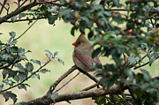 Ron Smith Framed Prints - Female Cardinal Framed Print by Ron Smith
