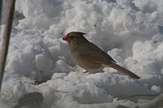 Ralph Hecht - Female Cardinal snow...