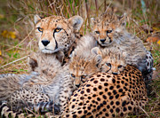 Cheetah Photos - Female Cheetah And Cubs by Colin Carter Photography