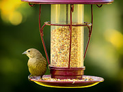 Bird-feeder Prints - Female Cowbird on Feeder Print by Bill Tiepelman
