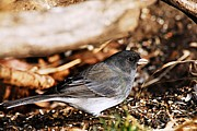 Goose Island Park Framed Prints - Female Dark Eyed Junco Framed Print by Larry Ricker