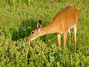 Female Deer Eating Print by John Radosevich