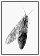 Bug Eye Prints - Female Dobsonfly Print by Amber Flowers