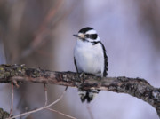 Peeling Bark Prints - Female Downy Woodpecker Frontview Print by Cathy  Beharriell