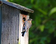 Avian Posters - Female Eastern Bluebird III Poster by Jai Johnson