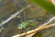 Surface Tension Prints - Female Emperor Dragonfly Print by Adrian Bicker