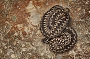 Snake Digital Art - Female European Adder on Sandstone by Andy Astbury