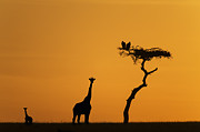 Young Giraffe Photos - Female Giraffe With Baby At Sunrise by Mike Hill
