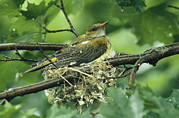 Orioles Framed Prints - Female Golden Oriole Sitting Framed Print by Klaus Nigge