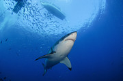 Carcharodon Prints - Female Great White, Guadalupe Island Print by Todd Winner