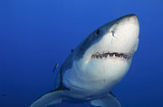 Sharks Photo Posters - Female Great White Shark, Guadalupe Poster by Todd Winner