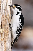 Goose Island Park Framed Prints - Female Hairy Woodpecker Framed Print by Larry Ricker