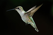 Ruby-throated Hummingbird Posters - Female Hummingbird Poster by DansPhotoArt on flickr