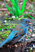 Sparrow Prints - Female Indigo Bunting Print by Thomas R Fletcher