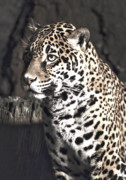 Star Gazing Photos - Female Jaguar by Matt Steffen