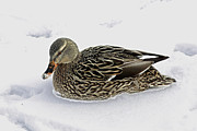 Sitting Ducks Framed Prints - Female Mallard in the Snow Framed Print by Inspired Nature Photography By Shelley Myke