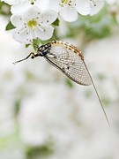 Flower Order Posters - Female Mayfly Poster by Adrian Bicker
