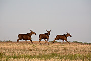 Female Moose With Male Calves In Saskatchewan Field Print by Mark Duffy