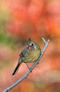 Female Northern Cardinal Prints - Female Northern Cardinal - D007809 Print by Daniel Dempster