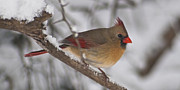 Female Northern Cardinal Posters - Female Northern Cardinal 4230 pan Poster by Michael Peychich