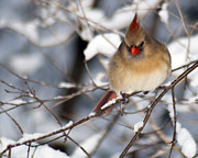 Female Northern Cardinal Prints - Female Northern Cardinal 4300 Print by Michael Peychich