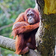 Orangutan Photos - Female Orangutan by Gabriela Insuratelu
