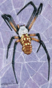 Texas Drawings - Female Orb Spider by Beverly Fuqua