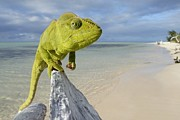 Nosy Prints - Female Oustalets Chameleon Print by Alex Rosenfield and Photo Researchers