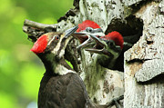 Chick Framed Prints - Female Pileated Woodpecker at nest Framed Print by Mircea Costina Photography
