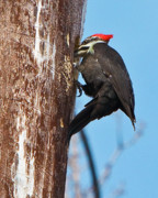 Pileated Woodpeckers Prints - Female Pileated Woodpecker Print by Gary Colvard
