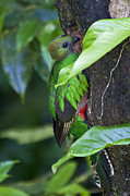 Exotic Bird Prints - Female Quetzal at nest site Print by Heiko Koehrer-Wagner
