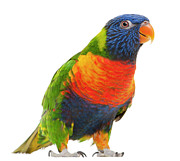 Multi-colored Art - Female Rainbow Lorikeet - Trichoglossus Haematodus by Life On White