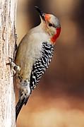 Larry Bird Art - Female Red-Bellied Woodpecker 5 by Larry Ricker