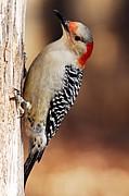 Female Red-bellied Woodpecker 5 Print by Larry Ricker