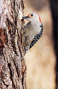 Goose Island Park Framed Prints - Female Red-Bellied Woodpecker 6 Framed Print by Larry Ricker