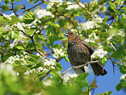 Red-winged Blackbird Framed Prints - Female Red-winged Blackbird Framed Print by Tony Beck